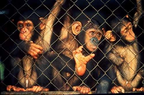 cagedchimps.jpg
