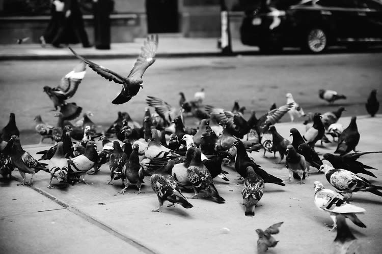 Ever Wonder How Many Pigeons Actually Live In NYC?