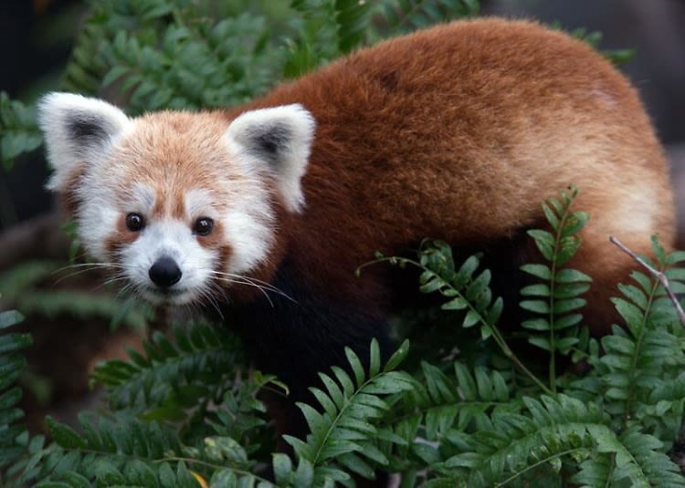 The Case Of The Missing Red Panda