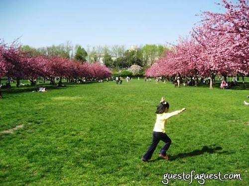 cherry trees,  The Brooklyn Botanic Garden