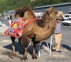 Beijing Camel