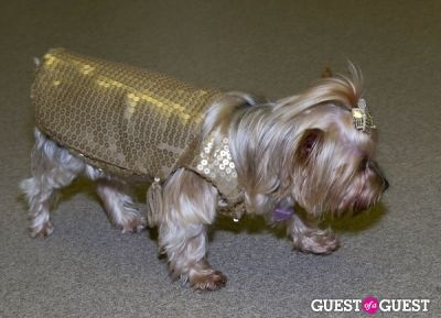 nellie --yorkie911-rescue in Pebble Iscious and Z Zee's Disco Birthday Bash