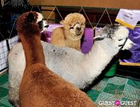 The Alpaca Project Celebration #72