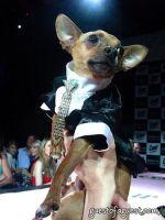 Eli the Chihuahua
