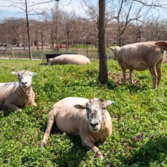 Governors Island's New Sheep-In-Residence Are Too Cute To Miss