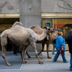Camels In Midtown Make For Just Another Day In NYC...