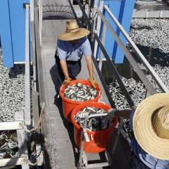 Japanese Tsunami Waves Hit L.A. Coast, May Help Clear Redondo's Dead Fish