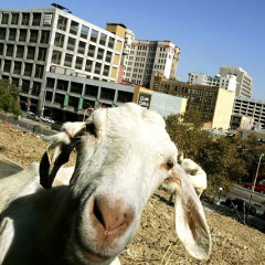 You Know It's Summer When A Bunch Of Goats Invade Downtown L.A.